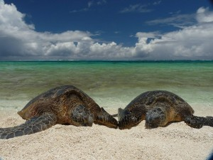 Wespac to Investigate, Discipline Itself Over Green Sea Turtle Delisting Petition