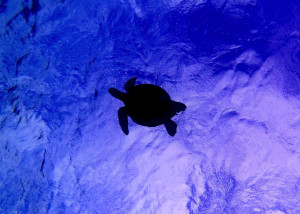 Feds Keep Protections for Hawaii Green Sea Turtles