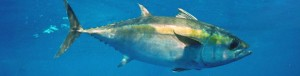 Pacific Bigeye Tuna Go Without Strong International Protections