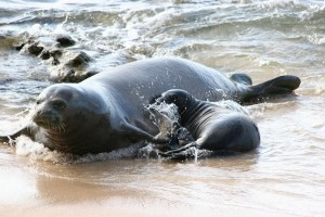 Here Is How We Save the Hawaiian Monk Seal