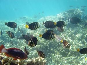 Big Fish Mystery: Why Are Big Island Reefs Suffering Such Dramatic Decline?