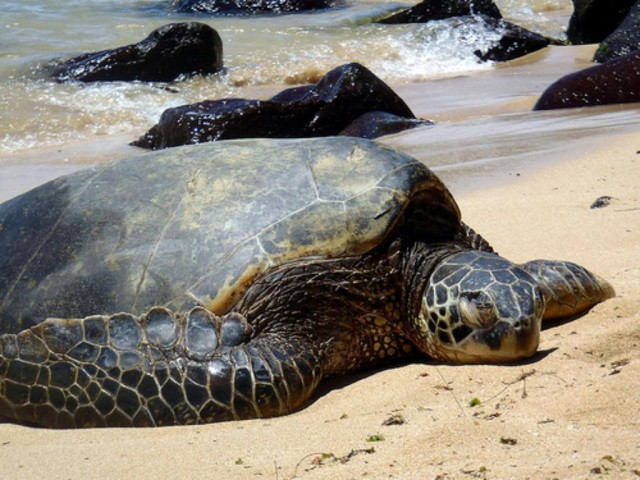 Sea turtle right side sun