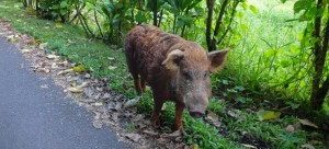 It's Your Money: Hawaii Taxpayers Bitten by Butch the Wild Boar