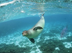 NOAA Shelves Plan To Move Monk Seals to Main Hawaiian Islands