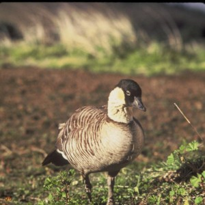 Hawaiian Nene Being Kicked Off  Kauai