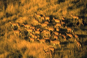 'Strong, Swift Action' Needed to Control Big Island Deer