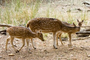 Big Island Plans Response to Deer Sightings