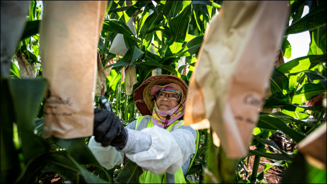 A Monsanto worker pollinates corn in a Molokai field. Both genetically modified organisms and pesticide spraying are worrisome for many Hawaii residents, despite assurances that they are safe.