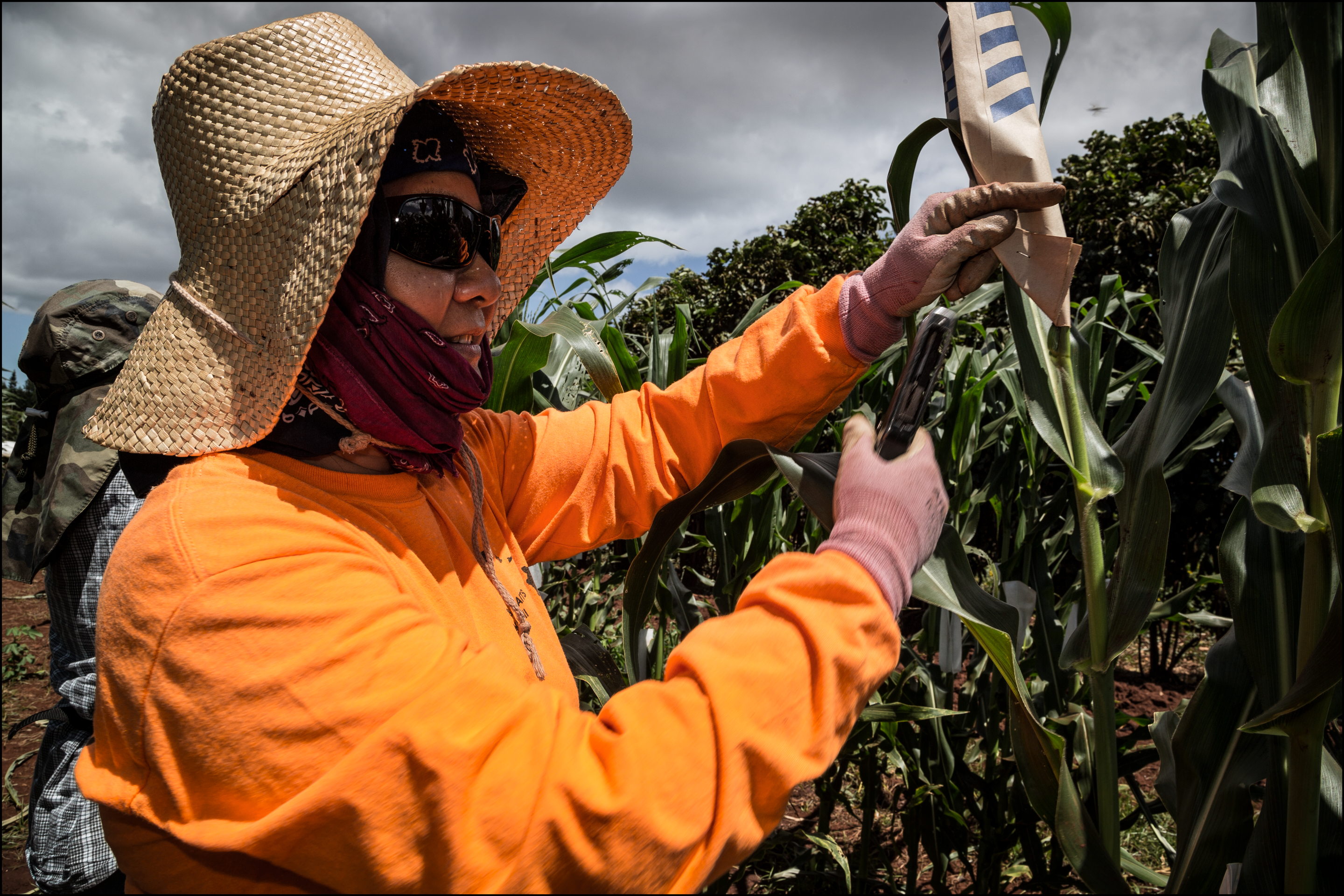 Monsanto, Maui County Sued Over GMO Farming Moratorium