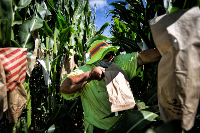 A Monsanto field worker pollinates corn on Molokai.