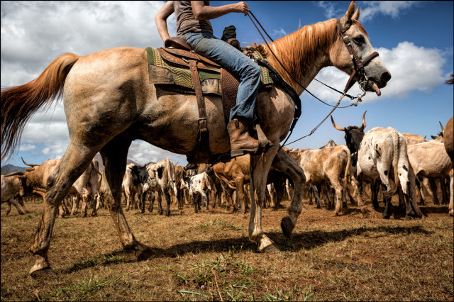 A good working horse is essential to cattle round-ups. The horse the main tool of the paniolo for herding of the animals.
