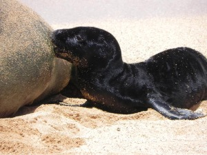 $5,000 Reward for Leads on Monk Seal Death on Kauai
