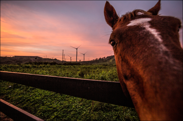 Friendly horse with Kahuku wind turbines in background. 11.20.13 ©PF Bentley/Civil Beat