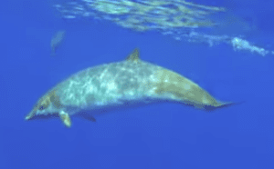 Mysterious Blainville's Beaked Whales Make An Appearance In Hawaii