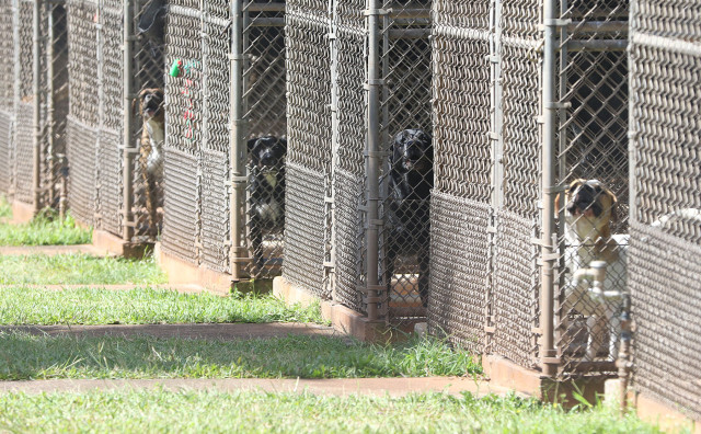 Dogs at the Animal Quarantine. Halawa Valley. 15 may 2015. photograph Cory Lum/Civil Beat