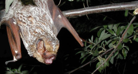 Hoary Bat: I Just Flew in From Cali, and Boy, Are My Wings Tired
