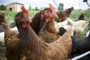 Hawaii Craves Local Eggs, and Help May Be On the Way