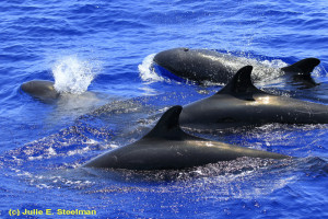 Federal Grant Aids False Killer Whales