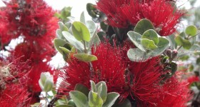Ohia Disease on Big Island Poses Threat to Native Forests Statewide