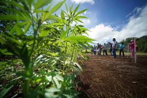 Why Ige Must Veto The Commercial Hemp Bill