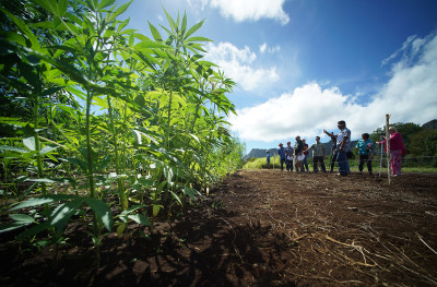 Why Are Hawaii's Lawmakers So Scared Of Hemp?