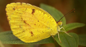 Mainland Butterfly Populates Hawaii