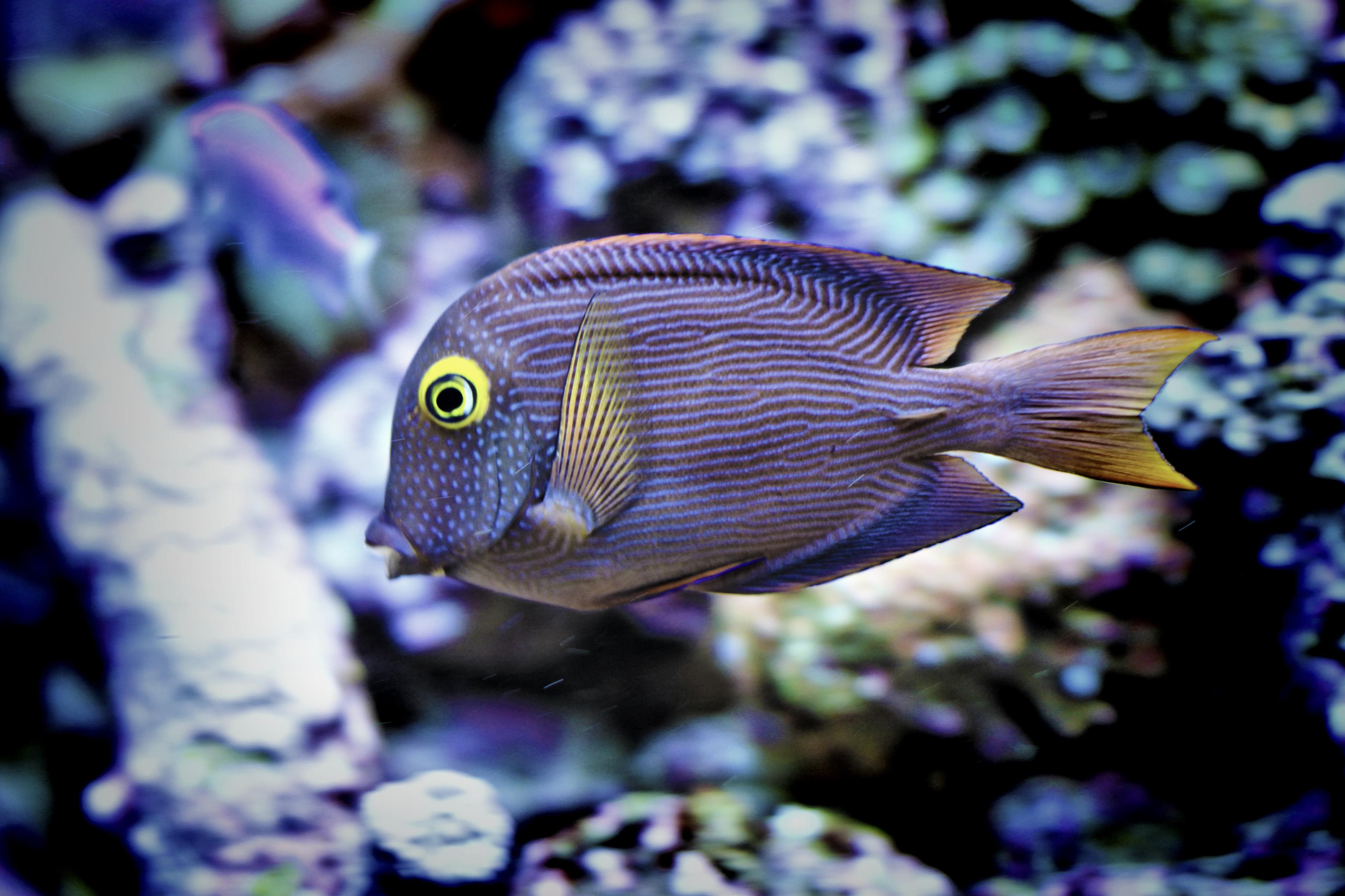 Is Hawaii Aquarium Fishing Headed For A 'Slow-Motion Shutdown'?