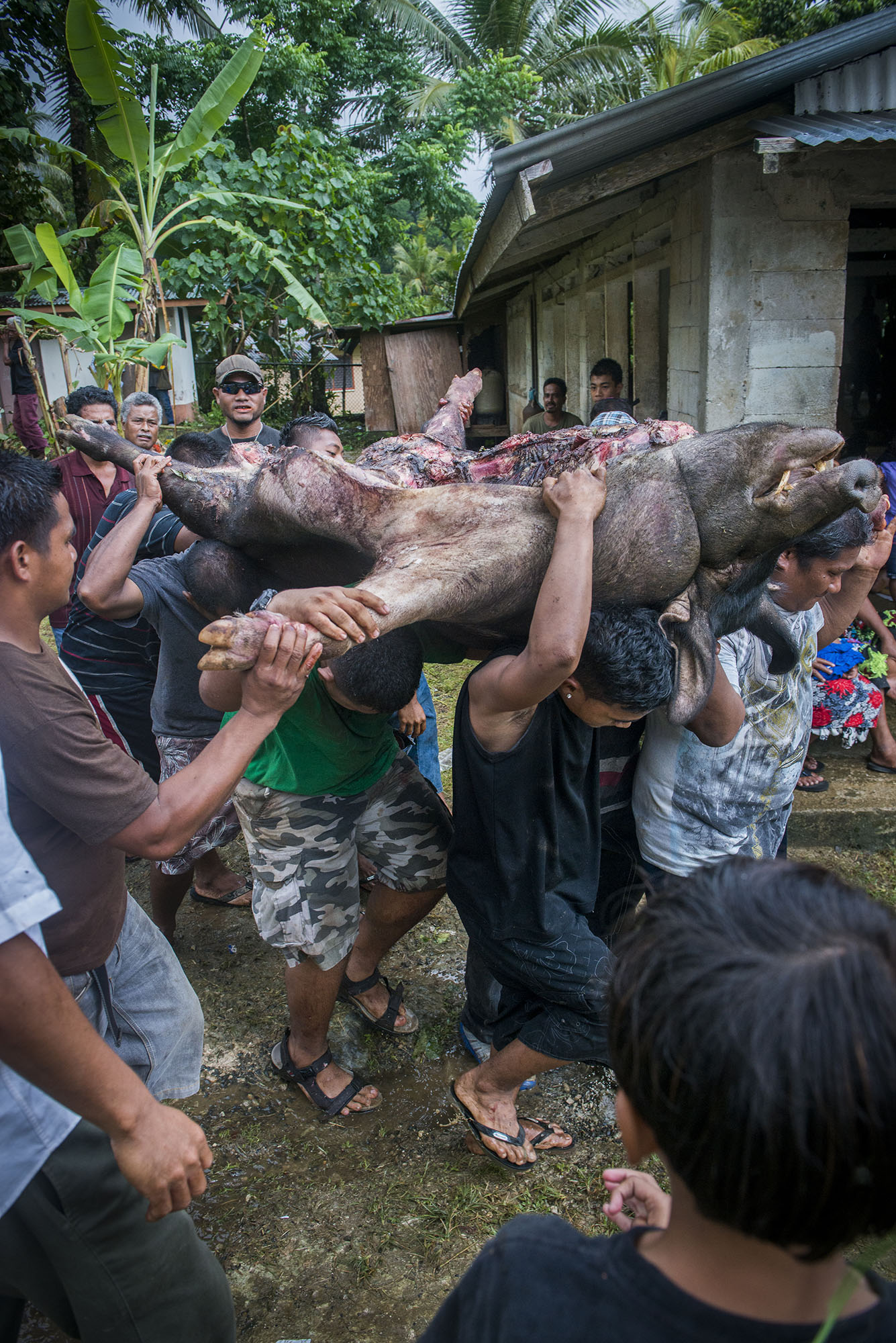 <p>A slaughted boar, part of a traditional feast in Madolenhimw village in Pohnpei. Photo by Mark Edward Harris.</p>