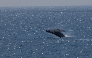 NOAA Withdraws Proposal To Expand Whale Sanctuary