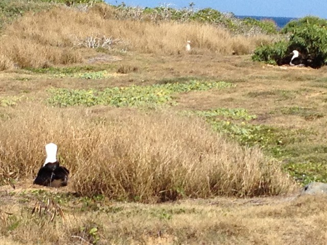 Nesting albatross are a common winter sight at Kaena Point.