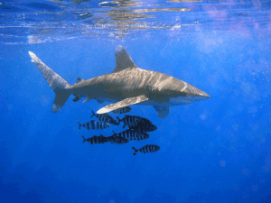 Hawaii Fishing Fleet Is Changing Gear To Help Protect Endangered Sharks