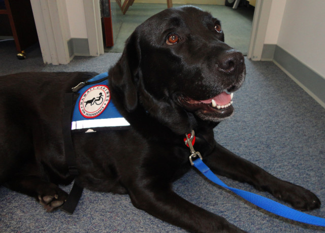 Pono, a Honolulu courthouse dog for vulnerable witnesses .