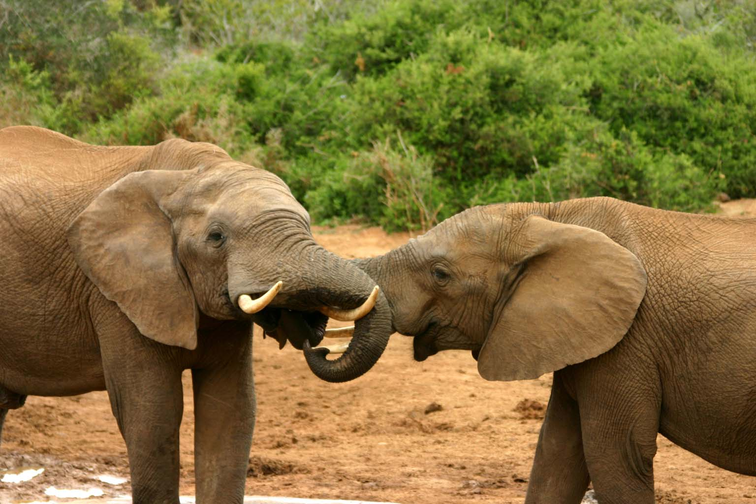 Help Save African Elephants By Blocking The Blood Ivory Trade