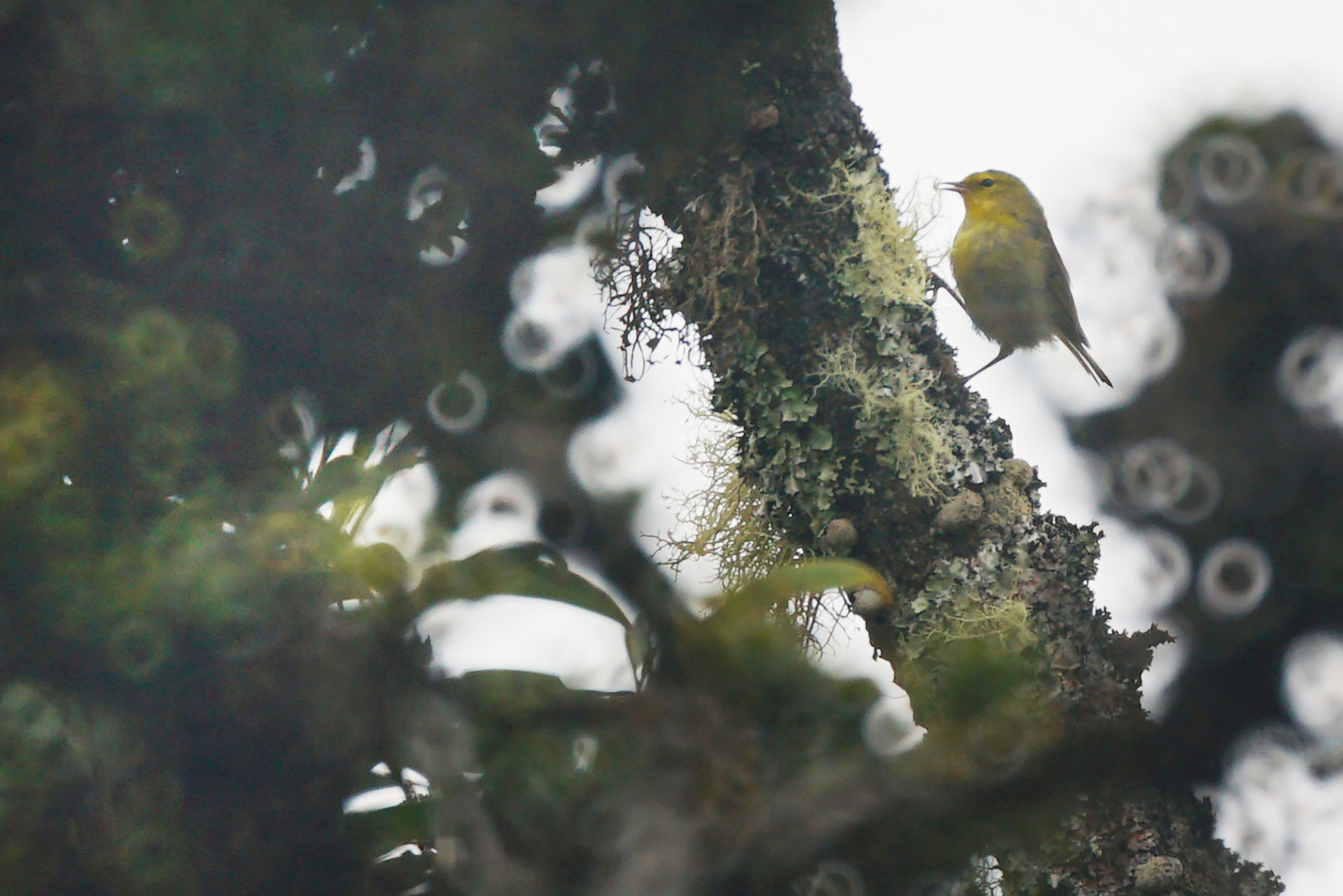 <p>A Maui Alauahio, or Maui Creeper, darted around an ohia lehua tree. The bird is now found only on east Maui, and its existencedepends on conservation and restoration of malaria-free forest habitat.</p>