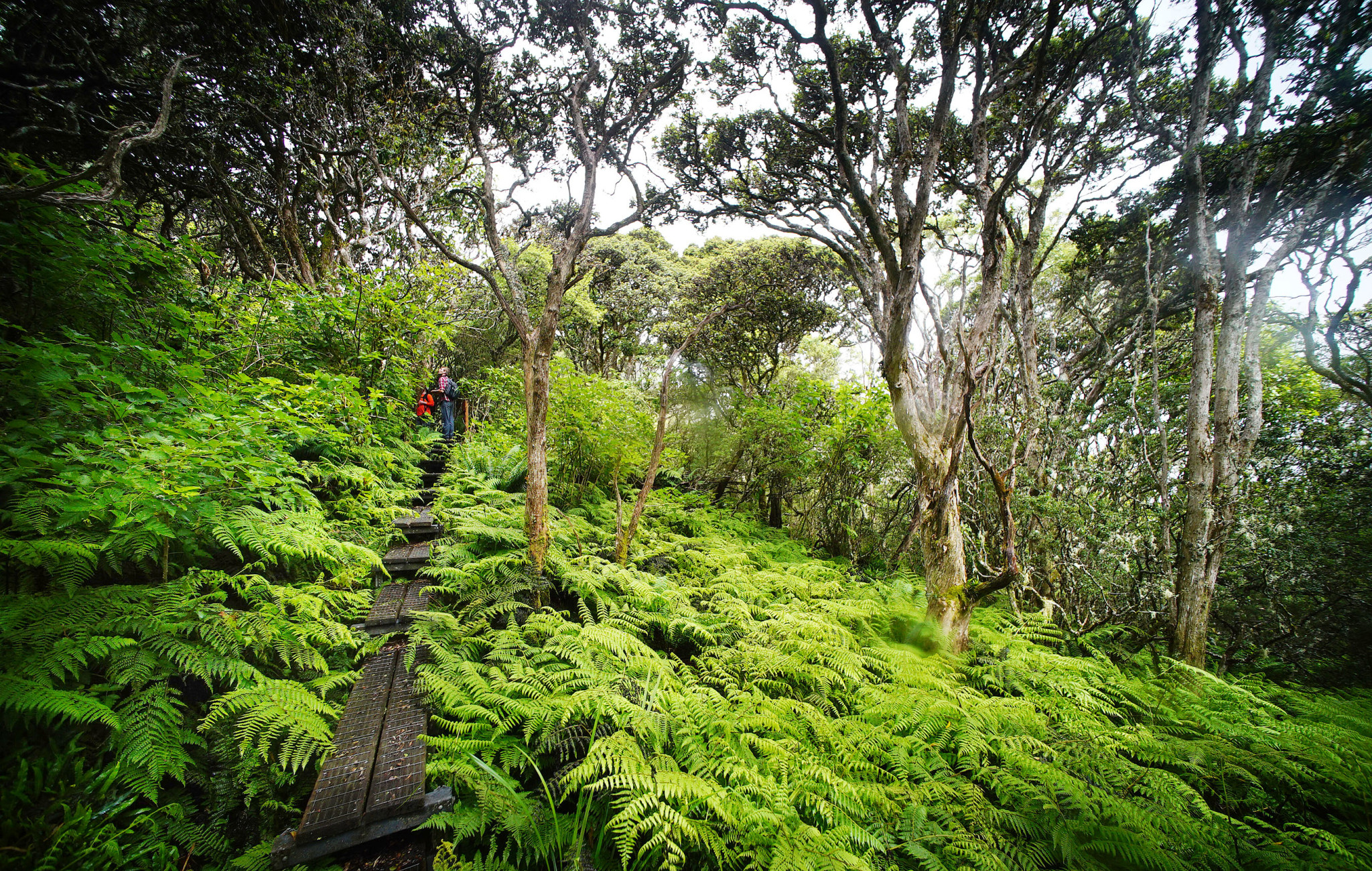 <p>Following a wooden elevated walkway within anative forest, hikers wanderedbeneathan open canopy of ohia lehua trees.</p>