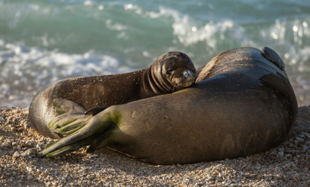 A monk seal pup rests with its mother after a swim in the ocean.