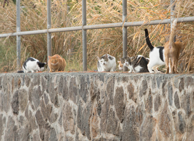 Dozens of feral cats come out from the brush after people left fresh cat food on the wall.
