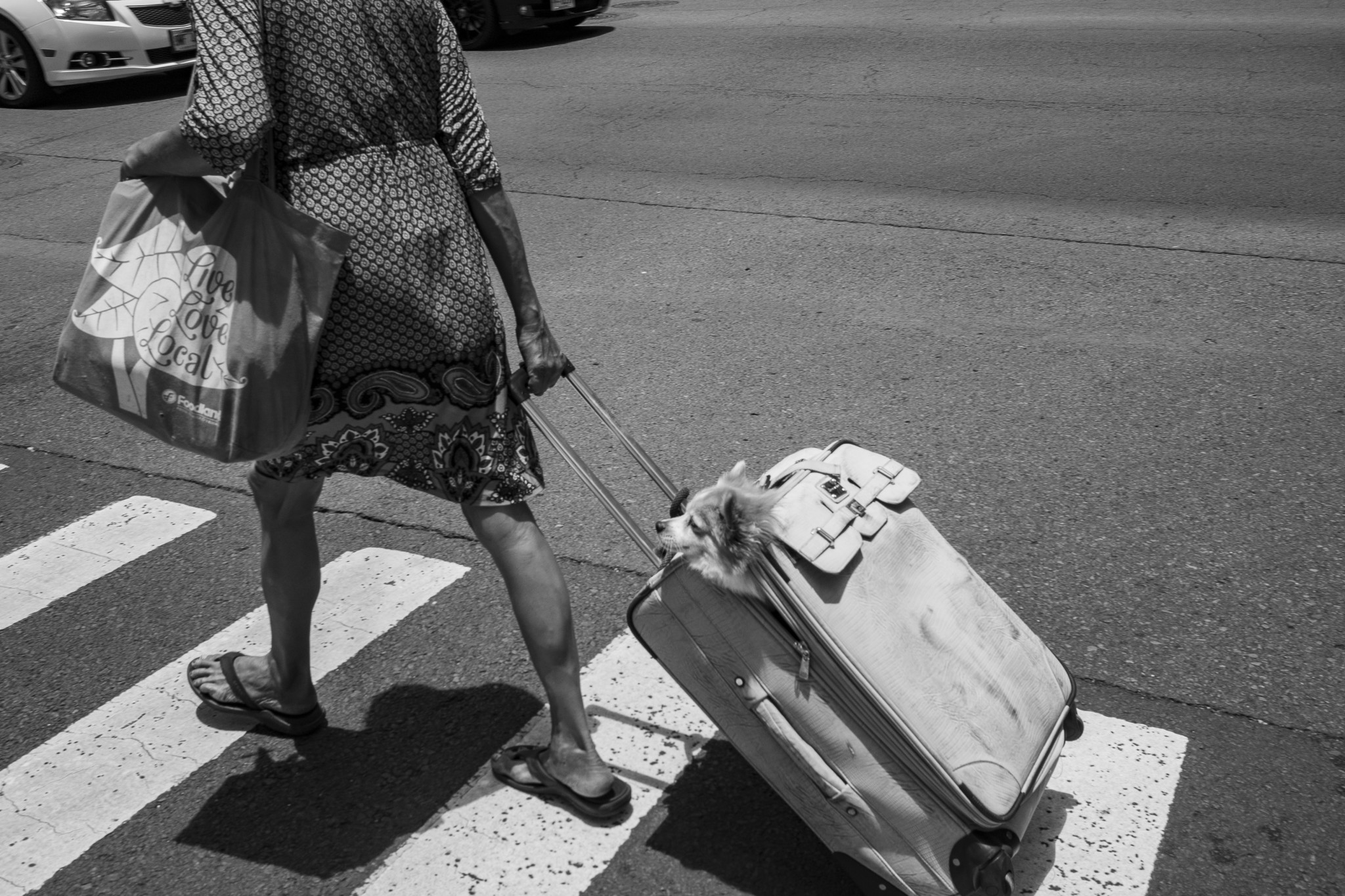 <p>It probably wasn&#8217;t a stowaway, but this dog was getting a free ride courtesy of a woman intent on crossing the street with her baggage.</p>