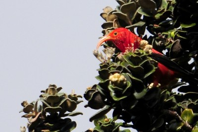 Hawaii's Honeycreeper May Get Federal Protection