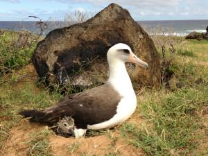 Denby Fawcett: Why Are Kaena Point Albatross Killers Still Free?