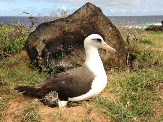Kaena Point albatross with chick - Pacific Rim Conservation