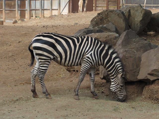 The zebra and giraffe exhibits are located next to each other in the zoo's African Savanna section.