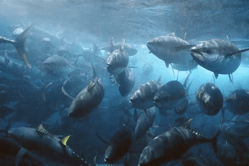 A mixed school of tuna are caught in a purse seine net.