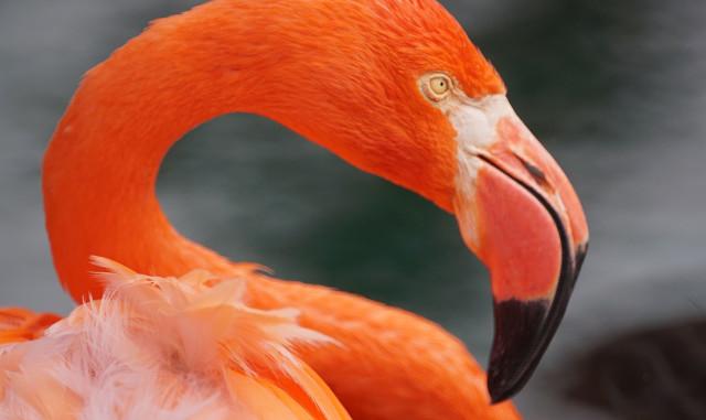Honolulu Zoo Flamingo. 21 nov 2016
