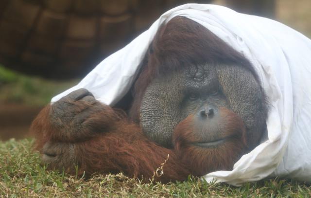 Honolulu Zoo Orangutan. 21 nov 2016