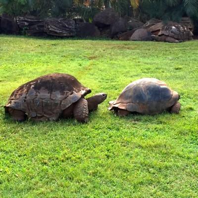 Honolulu Zoo ploughshoe tortoises