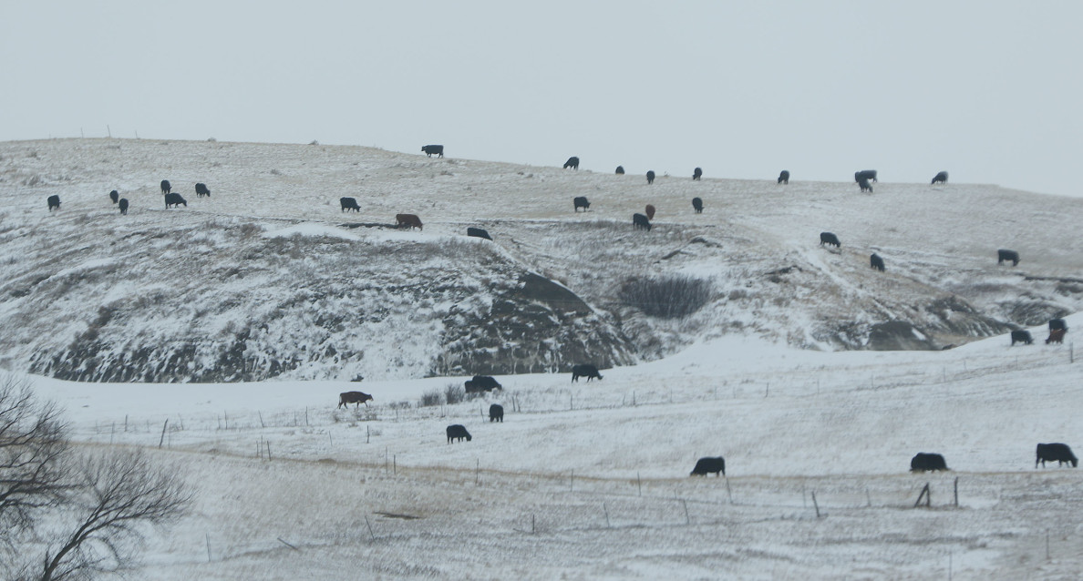 Black Angus cows dot the snow laden landscape as we head to Cannonball River, Oceti Sakowin Camp site. 1 dec 2016