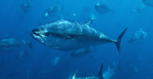 Tuna Commission's 'Glacial' Pace Suits Some In Industry Just Fine