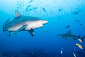 Fiji Is Showing Off Its Sharks — Should Hawaii Do The Same?