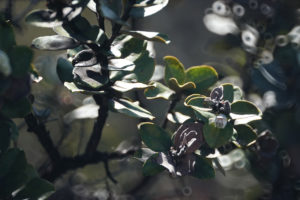 Study Shows 'Glimmer Of Hope' Against Rapid Ohia Death